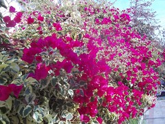 Bugambila variagada (patriciamura) Tags: bougainvillea bugambilias buganvilia bugambilia bugambila buganbilia