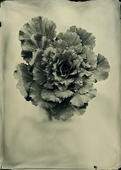 Cabbage (lost in pixels) Tags: analog alt cabbage ambrotype wetplate largeformat altprocess tessar 13x18 wetplatecollodion