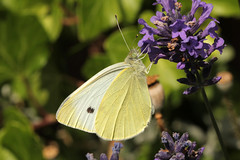 Hooked On Lavender (gripspix (OFF)) Tags: butterfly insect insekt schmetterling whitebutterfly weisling 20140627