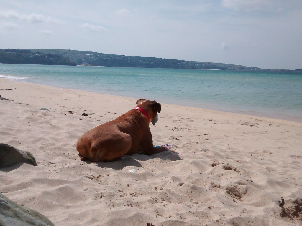 Micha our Boxer dog at Mexico Towans, St Ives Bay, Cornwall