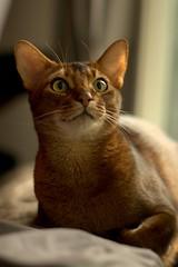 Luke (MorboKat) Tags: portrait pet nature animal cat mammal feline usual abyssinian malecat domesticcat felis purebred ruddy felidae felissilvestriscatus feliscatus purebredcat ruddyabyssinian usualabyssinian maleabyssinian