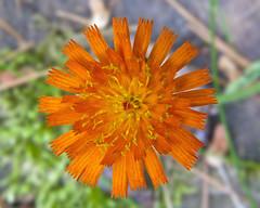 Orange hawkweed (wplynn) Tags: county orange lake wisconsin 4th chain co fourth northwoods moen hawkweed oneida rhinelander aurantiaca pilosella