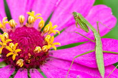 Patience (Western Maryland Photography) Tags: flower mantis praying maryland cecilcounty canoneos7d canonef100mmf28lisusmmacro