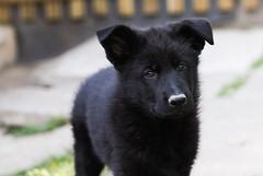 Drecknase (blumenbiene) Tags: dog black dogs puppy puppies shepherd linie line hund german ddr hunde deutscher welpe schäferhund welpen schwarzer