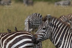 Zebra - Masai Mara (hellboy2503) Tags: animals canon photography tiere photo holidays flickr foto fotograf fotografie photographer photos wildlife urlaub natur 7d afrika massai migration impala landschaft kenia masai gnu steppe gettyimages gnus jagd zebras lwe masaimara naturschutzgebiet gepard geier ostafrika nachwuchs tierfotos zebramanguste nashorn tpfelhyne beute warzenschwein portrts bffel schakal lenscape kuhantilope reservat paviane meerkatzen herden leierantilope canon7d lwenjunge afrikanischeelefanten fotosphotos massaigiraffen hellboy2503 jrgdavidphotography