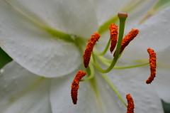 Ballett (deta k) Tags: flowers macro berlin germany deutschland flora blumen lilie blten sooc nikond5100
