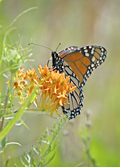 Oasis (Feathered Trail Photos) Tags: butterfly wildflower mfcc negrinepote fabuleuse mynj
