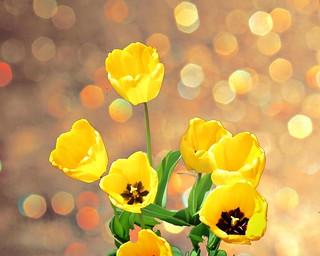 Toronto Ontario ~ Canada ~ Edwards Botanical Gardens ~  Yellow Tulip with Bokehs