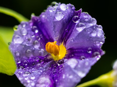 Purple and Yellow (Aldo(Teo)) Tags: flower water drop drops rain purple droplet droplets macro nature garden outdoor bokeh yellow