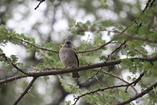 IMG_4987 - Swahili (Passer suahelicus) Sparrow - Ndutu, Tanzania (GPS #375)