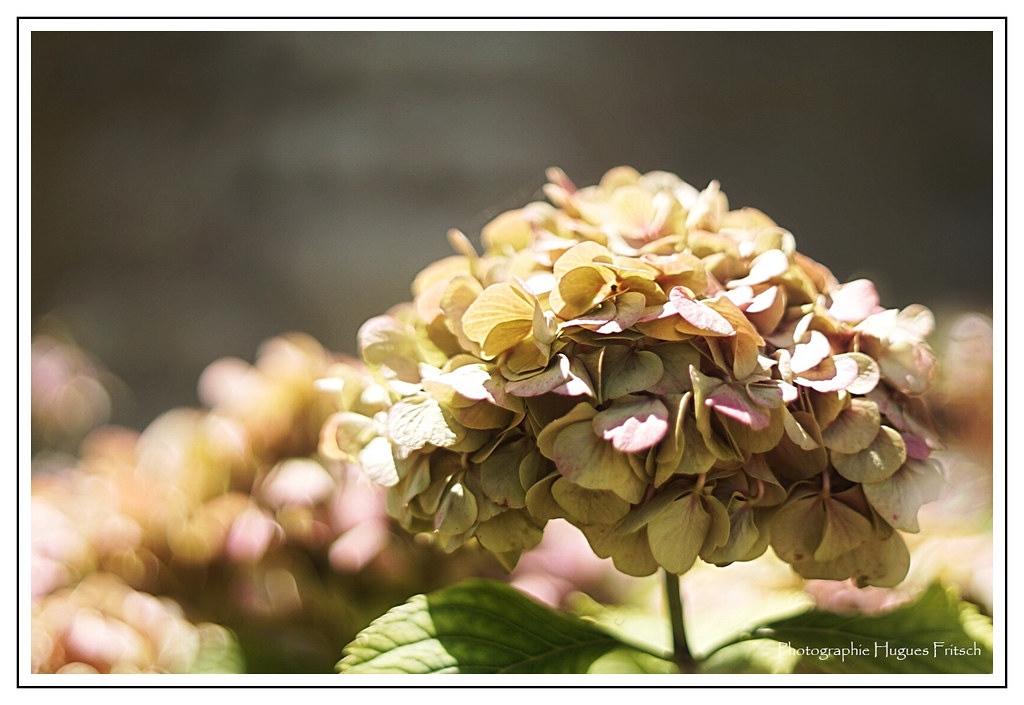 The world 39 s best photos of hortensia flickr hive mind - Hortensia fane en ete ...