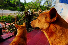 ,, Rocky, Mama, Monkeys ,, (Jon in Thailand) Tags: rocky mrmuscle mama monkeys primates dog dogs k9 k9s spirithouse redtile blue trees jungle ears nose bodyguard nikon nikkor d300 175528 morningsun guards handrail monkeytemple wildlife wildlifephotography red green donteventhinkaboutit motherson streetphotographyjunglestyle jaws makemyday littledoglaughedstories