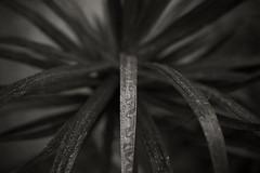 f2.8 (CameraOne) Tags: f28 canon6d canonef50mm14 plant bokeh raw blackandwhite cameraone rain raindrops