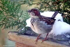 House Sparrow (Male) (--Anne--) Tags: housesparrow sparrow bird birds nature wildlife cedar cypress snow winter animal animals