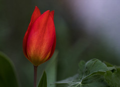 My little red tulip (blancobello) Tags: tulip tulpe zwiebel red rot blume flower sony 6500 macro