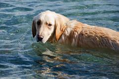 Polar Bear Plunge DSN_0855 (iloleo) Tags: dog winter swim nikond7000 goldenretriever sherman