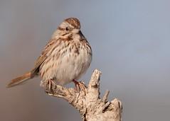 Song Sparrow (JDA-Wildlife) Tags: birds nikon nikond7100 tamronsp150600mmf563divc jdawildlife johnny portrait closeup sparrows sparrowsong songsparrow whatbirdbestofday incredible gorgeous