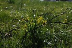 Blütenpracht an der Kirche - Gelbstern (Gagea sp.); Bergenhusen, Stapelholm (18) (Chironius) Tags: stapelholm bergenhusen schleswigholstein deutschland germany allemagne alemania germania германия szlezwigholsztyn niemcy blüte blossom flower fleur flor fiore blüten цветок цветен liliales lilienartige liliengewächse liliaceae lilioideae gegenlicht