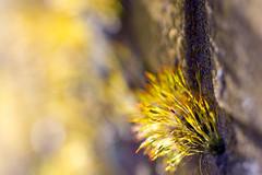 going into detail (ToDoe) Tags: detail mauer wall yellow gelb gelbgrün gegenlicht contrejour backlight bokeh dof tiefenschärfe unschärfe unscharf