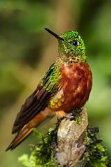 Chestnut Breasted Coronet (1 of 24).jpg (donnatopham) Tags: hummingbird ecuador chestnutbreastedcoronet