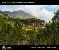 929_D8B_3483_bis_Bosco_di_San_Martino_delle_Scale (Vater_fotografo) Tags: vaterfotografo ciambra clubitnikon cielo controluce bosco salvatoreciambra sicilia palermo panorama palma nikonclubit nikon nuvole natura nuvola nube ngc nwn sanmartinodellescale albero alberi