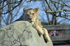 2017.03.16.026 PARIS -ZOO - Sieste chez les lions (alainmichot93 (Bonjour à tous - Hello everyone)) Tags: 2017 france îledefrance seine paris paris12èmearrondissement boisdevincennes parczoologiquedeparis zoodevincennes zoo animal mammifère félin lion