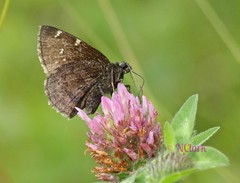 Northern Cloudywing (Thorybes pylades) (N.Clark) Tags: northerncloudywingthorybespylades skippers butterfliesofmanitoba familyhesperiidaeskippers insects pollinators butterflies manitobabutterflies manitobaskippers