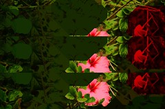 who knows (meeeeeeeeeel) Tags: digitalart glitchart glitch abstract red mobileediting mobilephoneart iphoneography surrealnature nature verde green corderosa rosa pink hibiscus hibisco flower strange surreal weird decim8