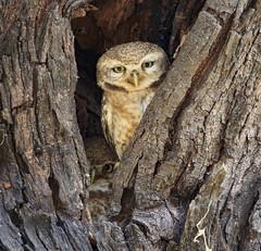 Spot the spotted (iNeeraj) Tags: owlet spottedowlet wildlife birds birdsofindia birdphotography nocturnalbirds bharatpur rajasthan india indianbirds keoladeonationalpark keoladeo