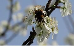 abejas (macosmallada(proaza)) Tags: abejas primavera flores flowers blanco jardin insectos