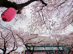 IMGP5687 (digitalbear) Tags: pentax q7 08widezoom 17528mm f374 nakano doori sakura cherry blossom blooming full bloom tokyo japan araiyakushi arai yakushi baishoin