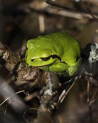 they are back (bugman11) Tags: hylaarborea boomkikker kikker fauna frog frogs animal animals amphibians amphibian green nature amsterdamsewaterleidingduinen nederland thenetherlands canon 100mm28lmacro macro 1001nights 1001nightsmagiccity thegalaxy platinumheartaward