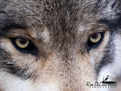 Lookin' at Ya (rond-photography@sbcglobal.net) Tags: wolf concentrate scary eyes stare dog canine lakota fur ctphotographer lupis