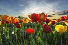 Tulpen (Helmut Wendeler aus Hanau) Tags: blumen feld blumengarten tulip tulips tulpe tulpen