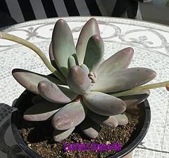 Pachyphytum machucae
