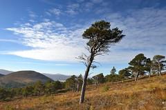 Invereshie-D8933.JPG (MyParkScotland) Tags: woods woodland woodofcaledon trees scotspines scotspine reserve pinussylvestris pinewood pine october2012 october nnr naturereserve nationalnaturereserve invereshied8933jpg invereshiennr invereshie glenfeshie forest digitaljpegs caledonianpine caledon autumn 2012 invereshieandinshriachnnr