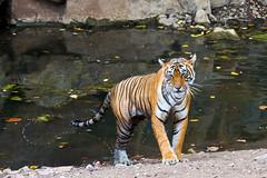 534 Day 3 Tigers (brads-photography) Tags: female headon india mala nationalpark noor pantheratigristigris rajasthan ranthambore royalbengaltiger sawaimadhopur standing t39 tiger tigerreserve walking water waterhole wildlife
