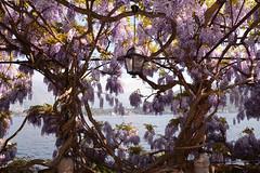 ... e intanto è aprile, e il glicine è qui, a rifiorire.... (illyphoto) Tags: glicine primavera tremezzo photoilariaprovenzi lagodicomo comolake lakecomo