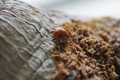 little fellow (Suzanne's stream) Tags: marienkäfer käfer macro spring bug ladybug ladybird garden