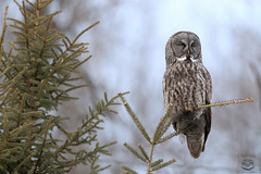 Grey Ghost (Megan Lorenz) Tags: greatgreyowl greatgrayowl owl bird avian birdofprey nature wild wildlife wildanimals algonquinprovincialpark ontario canada mlorenz meganlorenz