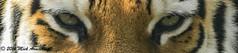 Tiger_Eyes.jpg (Mick J F Armstrong) Tags: 2017 amurtiger april bangladesh bhutan india myanmar nepal paradisewildlifepark siberiantiger tiger