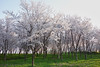 white cherry blossoms (peaceful-jp-scenery (busy)) Tags: cherry blossoms flower spring sakura takadapark takadajoucastle サクラ 桜 夜桜 春 高田公園 高田城 日本三大夜桜 観桜会 上越 新潟 日本 sony cybershot dscrx100 carlzeiss 28100mmf1849 20mp