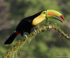 Keel-billed Toucan (wmckenziephotography) Tags: toucan keelbilledtoucan wildbirds birds costaricabirds