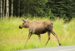 IMG_3072.jpg (Edie Mendenhall) Tags: grass natural big running moose brown cow female region road herbivore hoofed north life large outdoor view wildlife alcesalces wild gravel head nature beautiful country mammal animal forest fur green usa americanus wilderness national