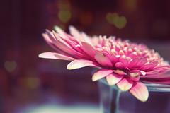 (frogghyyy) Tags: macro macros macrophotography macroscene flower fiore pink heart light bokeh heartbokeh nature spring natureshot macronature canoneos1000d canonphotography beautifulnature details dettagli naturescene