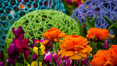 Ranunculus and Cyclamen (pattyg24) Tags: chicago illinois ranunculus color flowers orange orbs purple spring