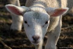 Lamb (DirkVandeVelde back) Tags: europa europ europe belgie belgium belgica belgique buiten biologie outdoor zoogdieren mammalia lam lamb easter pasen fauna sony