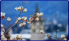 Spring in Zurich-2 (Ioan BACIVAROV Photography) Tags: bacivarov ioanbacivarov bacivarovphotostream interesting beautiful wonderful wonderfulphoto nikon journalism photojournalism spring zurich flower flowers bokeh