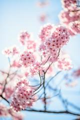 Kirameki (H.H. Mahal Alysheba) Tags: cherryblossom cherry bokeh dof japan pink nikon d800 afs nikkor 105mmf14