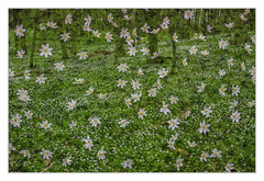 Anemone time II (bavare51) Tags: anomonen pflanzen blumen blüten mehrfachbelichtung natur wald blütenteppich